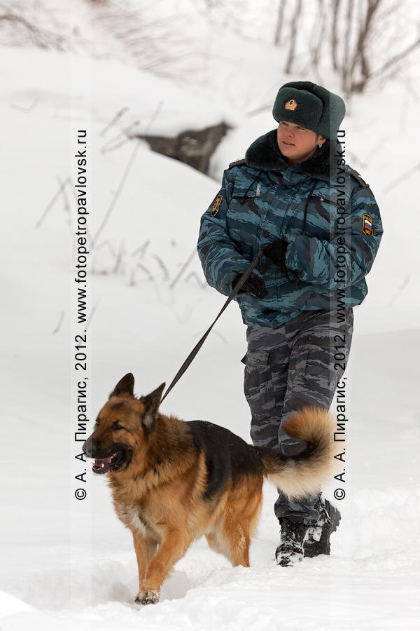 Фотография: кинолог с собакой ищет взрывные устройства в районе места происшествия. Антитеррористические учения по пресечению теракта на объекте массового пребывания людей. Камчатский край, город Петропавловск-Камчатский