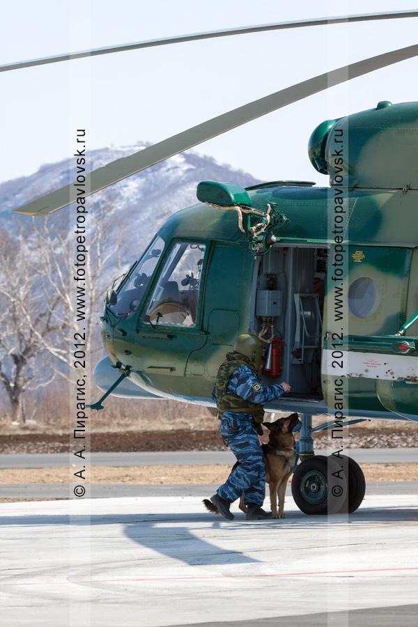 Фотография: кинолог с собакой досматривает вертолет, который освободили от террористов, на предмет наличия взрывного устройства (бомбы). Контртеррористические учения по пресечению теракта на объекте воздушного транспорта
