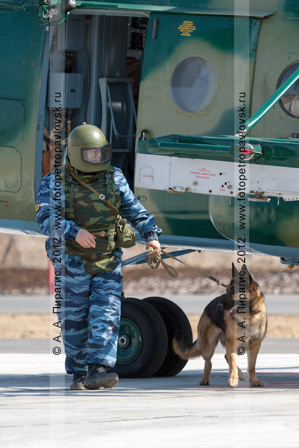 Фотография: кинолог с собакой осуществляет досмотр вертолета на предмет наличия взрывного устройства (бомбы). Контртеррористические учения по пресечению теракта на объекте воздушного транспорта