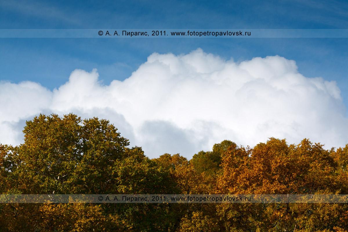Фотография: золотая осень Камчатки — голубое небо, белые облака и золотые листья каменной березы. Осенняя фотография сделана в городе Петропавловске-Камчатском