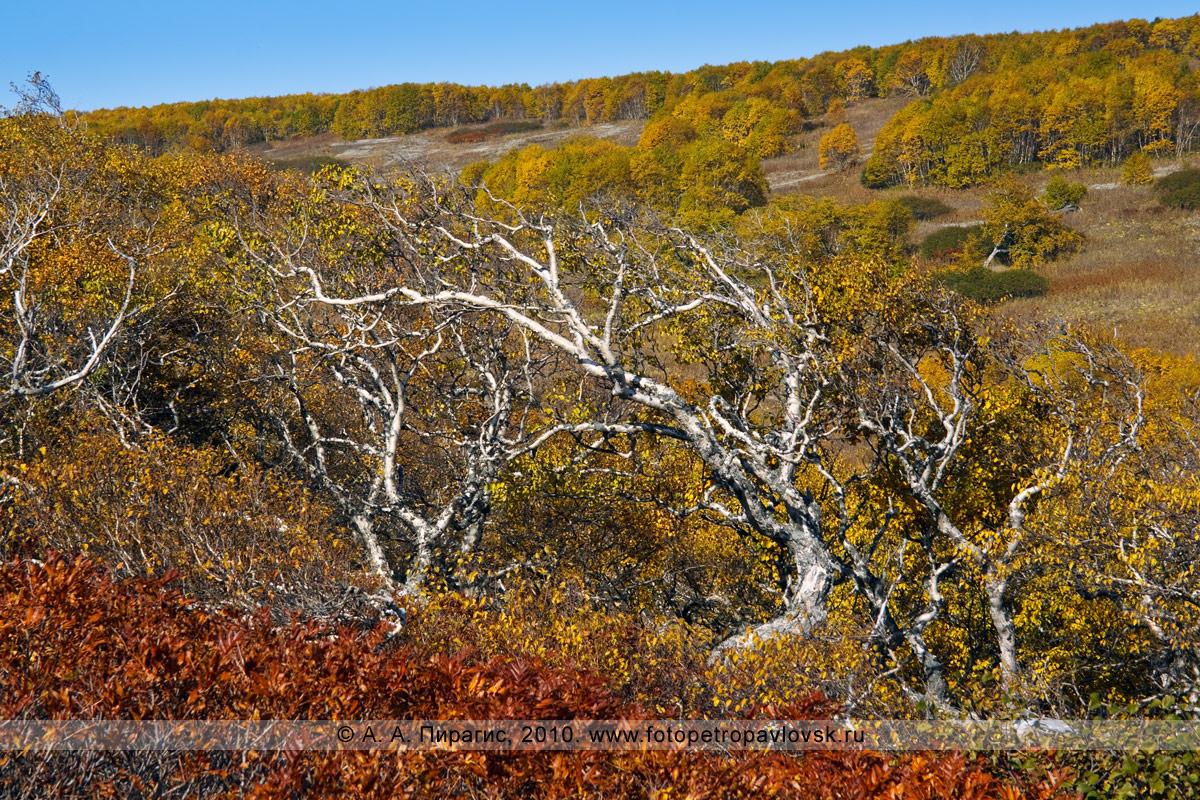 Фотография: береза Эрмана, или каменная береза, — Betula ermanii Cham. (семейство Березовые — Betulaceae) на полуострове Камчатка