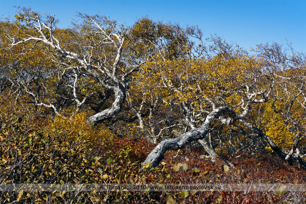 Фотография: береза Эрмана, или каменная береза, — Betula ermanii Cham. (семейство Березовые — Betulaceae) на Камчатке