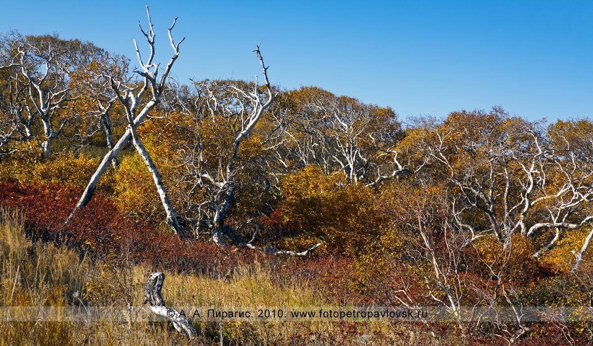 Фотография: каменная береза, или береза Эрмана, — Betula ermanii Cham. (семейство Березовые — Betulaceae) на юге полуострова Камчатка