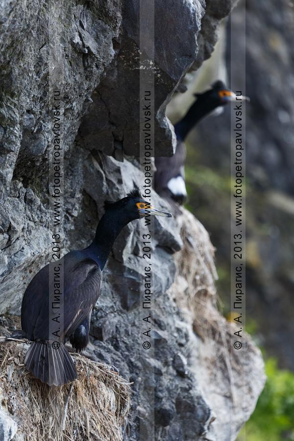 Фотография: краснолицые бакланы Phalacrocorax urile (Gmelin, 1789) сидят в гнездах на скалах. Камчатка