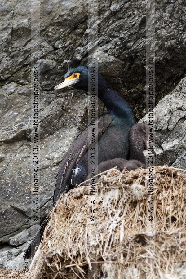 Фотография: краснолицый баклан с птенцом сидят в гнезде на скале. Камчатский край