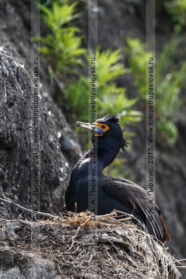 Фотография: краснолицый баклан Phalacrocorax urile (Gmelin, 1789) гордо сидит в гнезде на скале. Полуостров Камчатка