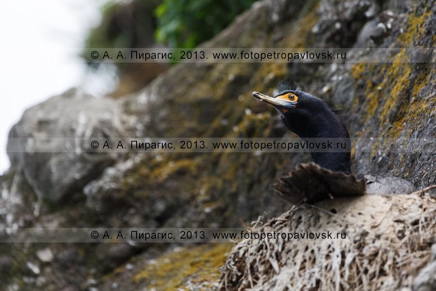 Фотография: краснолицый баклан выглядывает из гнезда. Камчатка