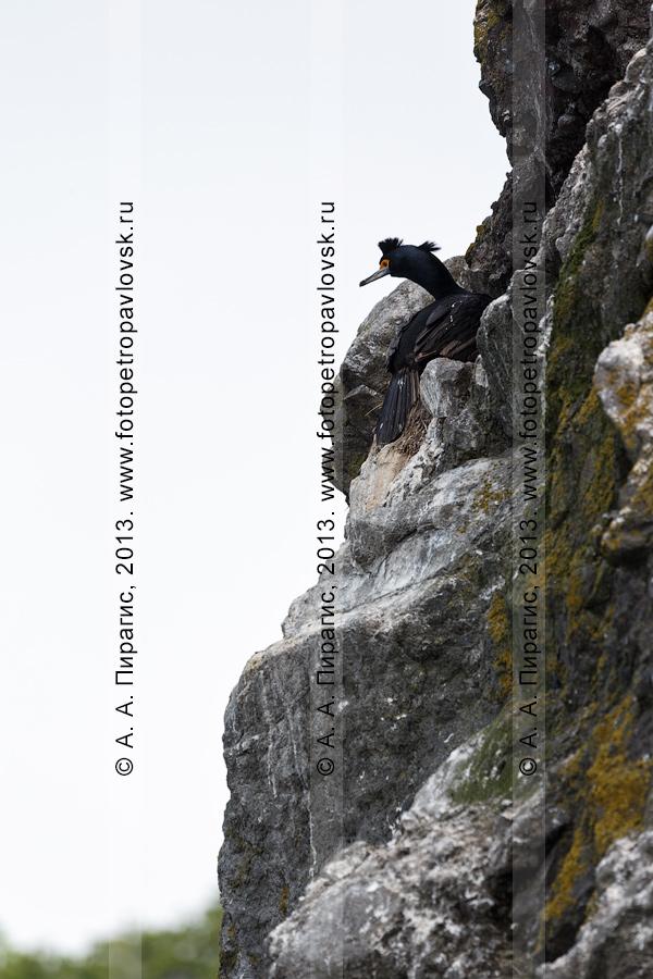 Фотография: краснолицый баклан Phalacrocorax urile (Gmelin, 1789) сидит в своем гнезде на скале. Камчатка