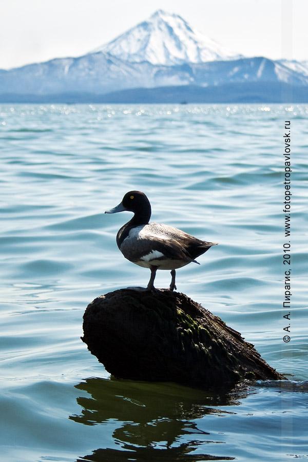 Фотография: камчатская птица — морская чернеть в Авачинской губе (бухте), на заднем плане — камчатский вулкан Вилючинский
