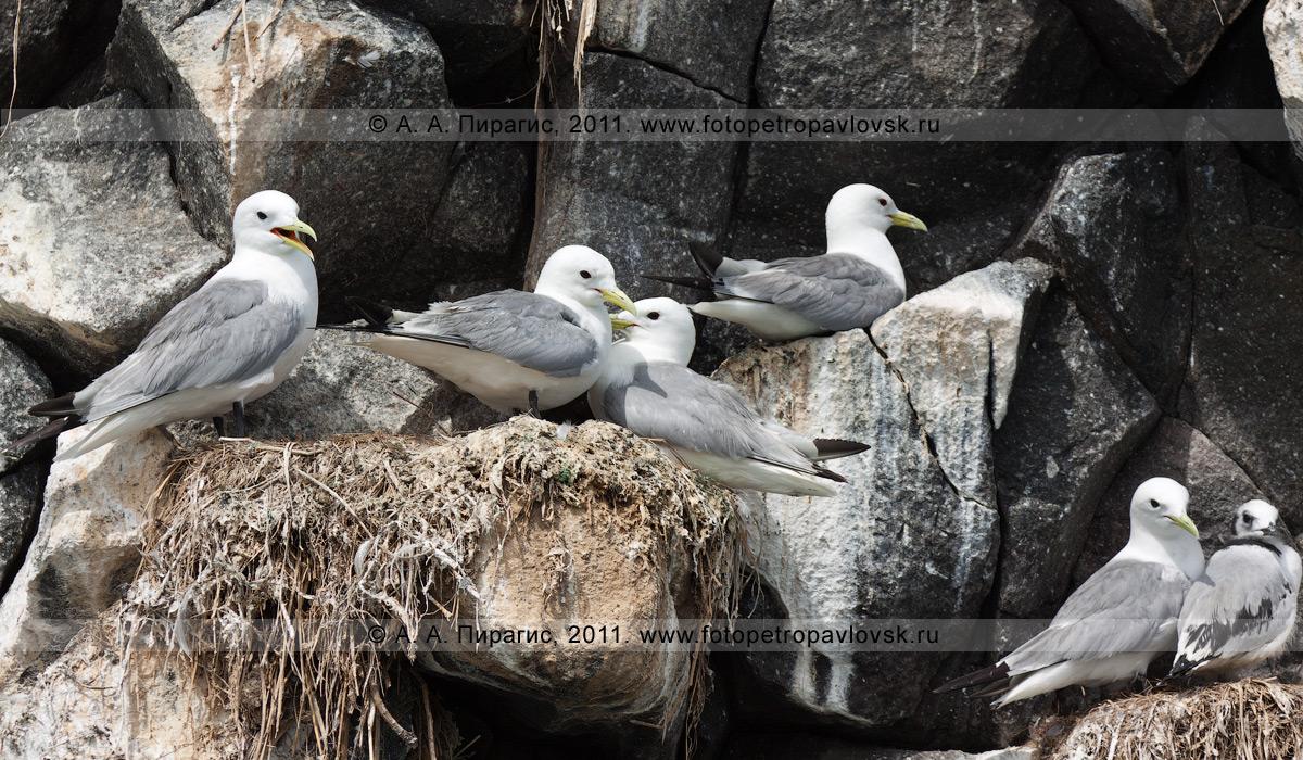 Фотография: гнездовая колония чаек-моевок — Rissa tridactyla (Linnaeus, 1758). Кекур Часовой возле острова Старичков. Авачинский залив, Тихий океан