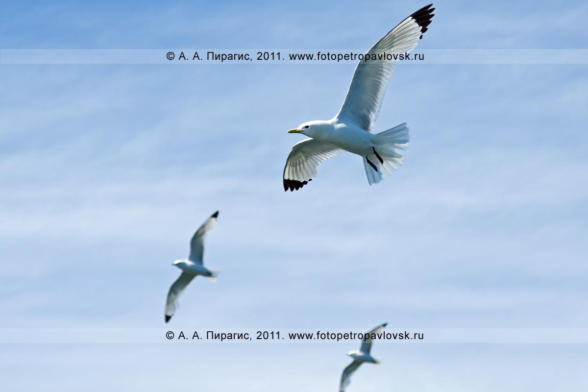 Фотография: полет моевки. Район острова Старичков в Авачинском заливе Тихого океана