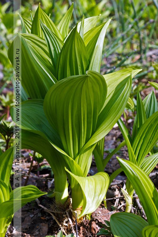 Фотография: чемерица остродольная — Veratrum oxysepalum Turcz. (семейство Безвременниковые — Colchicaceae)