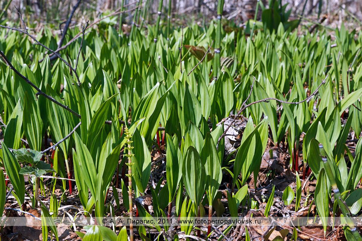 Фотография: лук охотский, или черемша, — Allium ochotense Prokh. (семейство Луковые — Alliaceae)