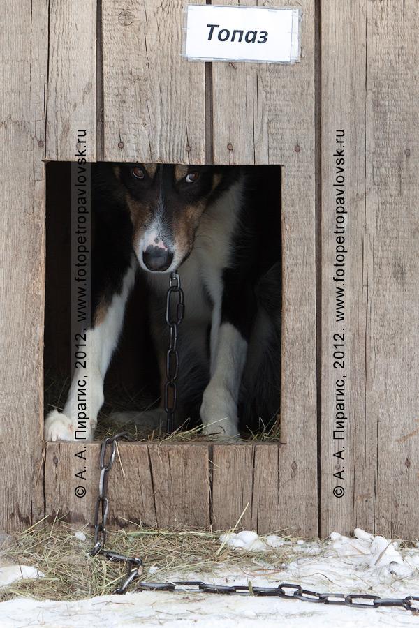 """Фотография: ездовая собака Топаз в своем доме на открытом воздухе. Питомник камчатских ездовых собак """"Сибирский клык"""" компании """"Pacific Network"""" (""""Пасифик Нетворк""""). Камчатский край, город Петропавловск-Камчатский"""