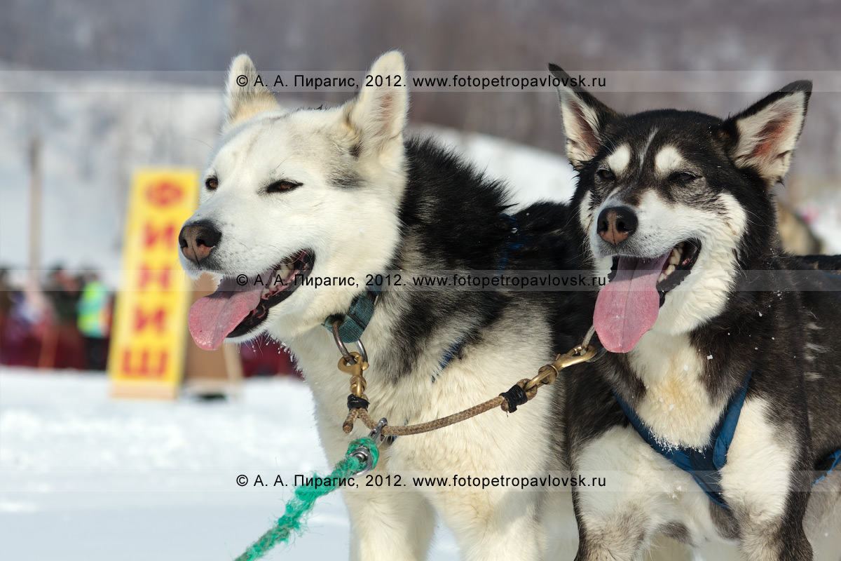 """Фотография: ездовые собаки — участники гонки. Гонка на собачьих упряжках """"Елизовский спринт"""" в рамках праздника """"Берингия"""" на Камчатке"""