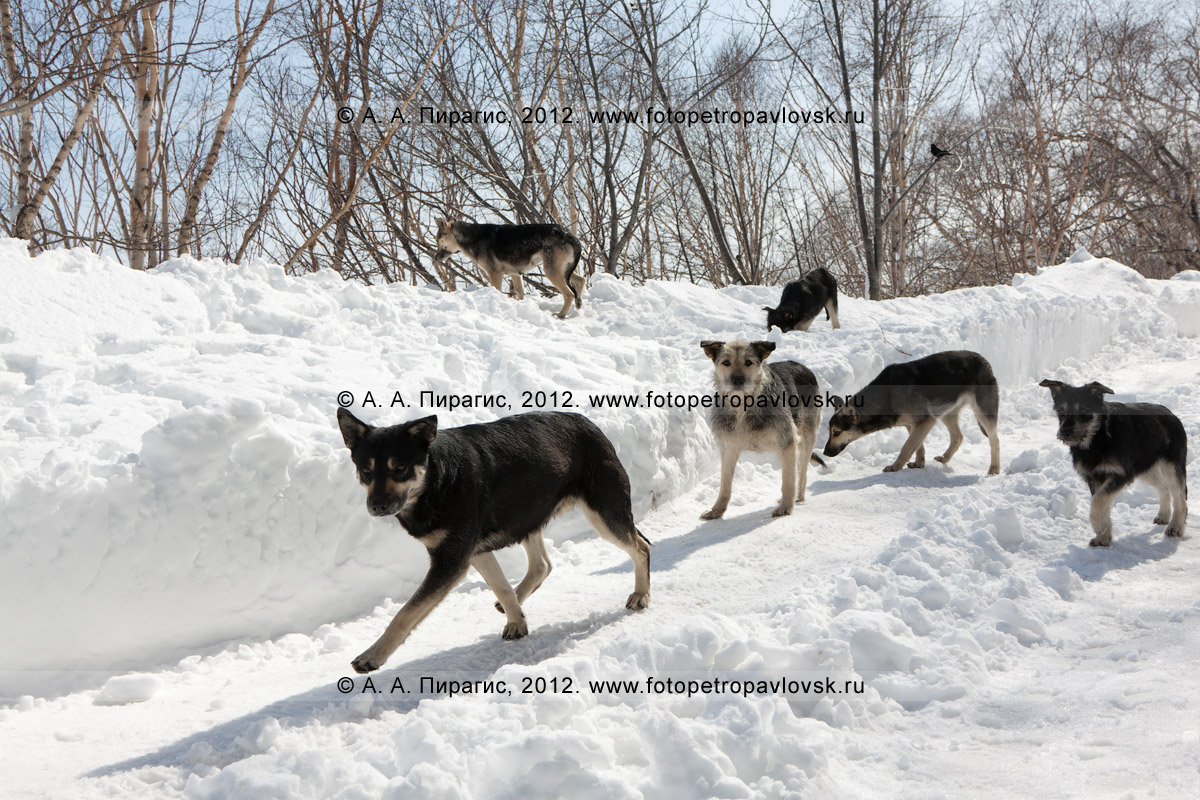 Фотография: бродячие собаки. Полуостров Камчатка, Петропавловск-Камчатский, Никольская сопка