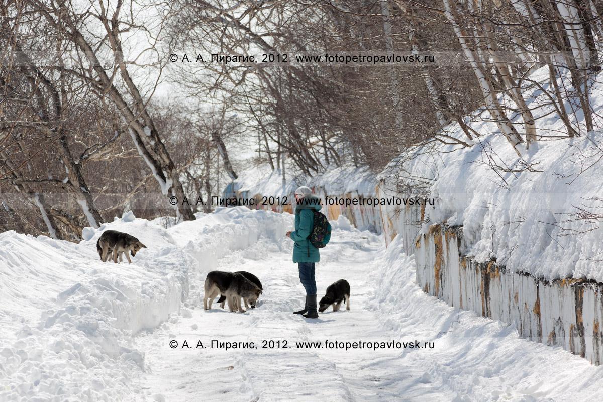 Фотография: бродячие собаки на дороге. Камчатский край, город Петропавловск-Камчатский, Никольская сопка