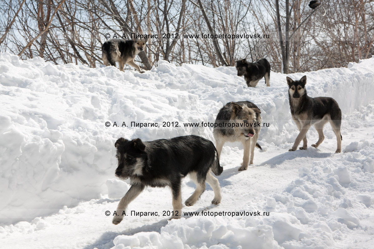 Фотография: бродячие собаки. Камчатка, город Петропавловск-Камчатский, Никольская сопка
