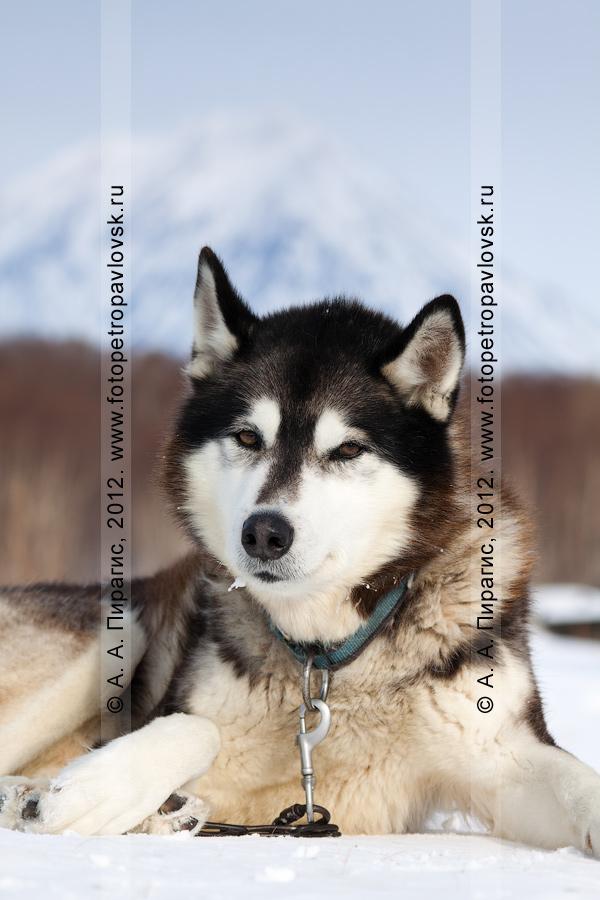 """Фотография: ездовая собака отдыхает на снегу. Питомник камчатских ездовых собак """"Сибирский клык"""" компании """"Pacific Network"""" (""""Пасифик Нетворк""""). Полуостров Камчатка, Петропавловск-Камчатский"""
