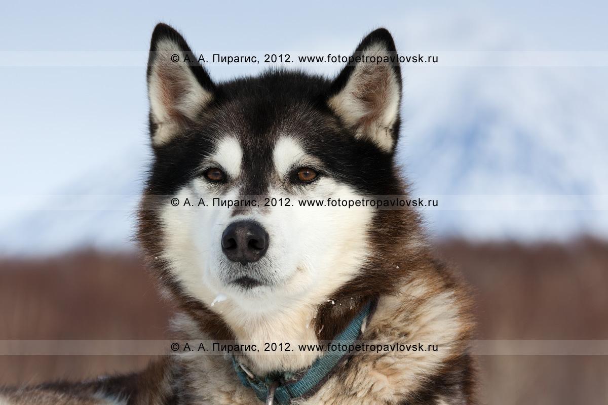 """Фотография: портрет ездовой собаки. Питомник камчатских ездовых собак """"Сибирский клык"""" компании """"Pacific Network"""" (""""Пасифик Нетворк""""). Полуостров Камчатка, Петропавловск-Камчатский"""