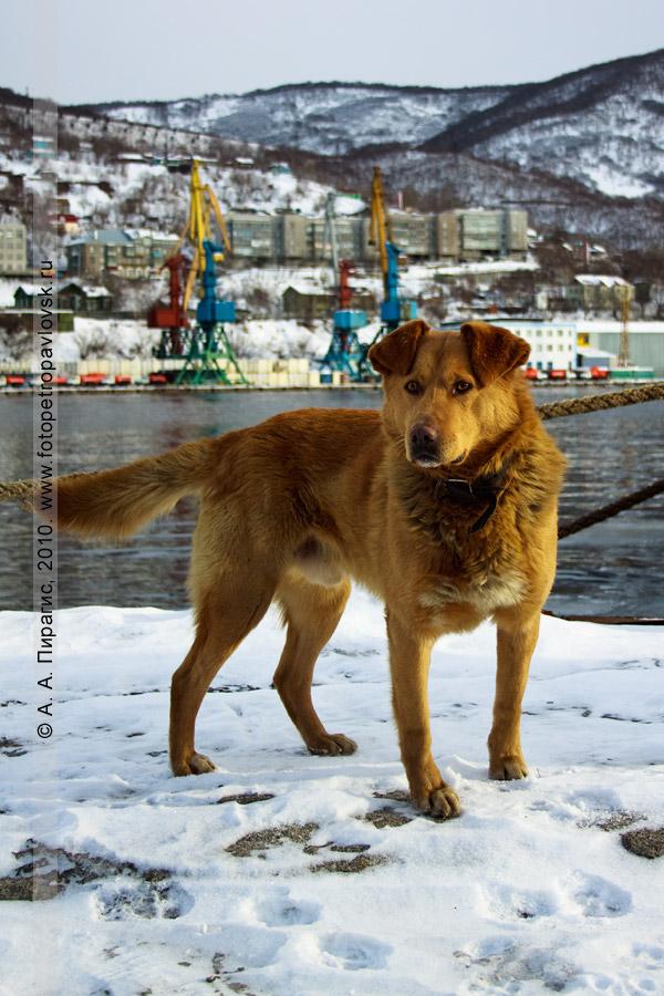 Фотография: камчатская собака с умным взглядом... (Петропавловск-Камчатский)