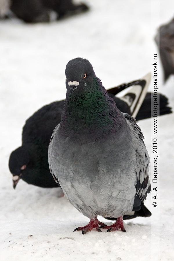 Фотография: камчатский голубь