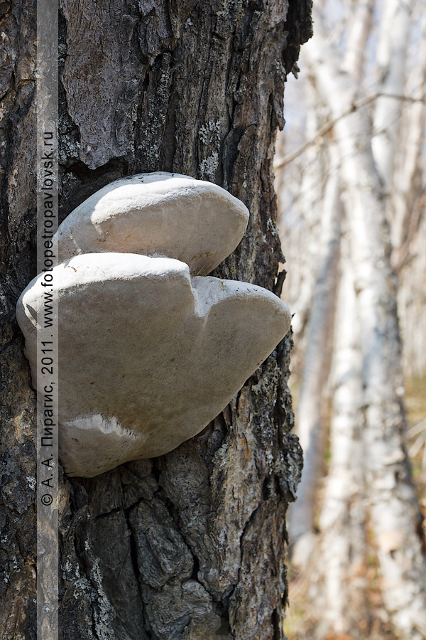 Фотография: паразитирующие грибы на березе Эрмана, или каменной березе. Камчатский край, окрестности города Петропавловска-Камчатского