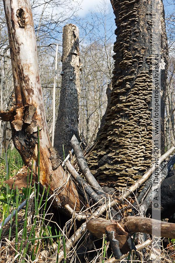 Фотография: береза Эрмана, или каменная береза, — Betula ermanii Cham. (семейство Березовые — Betulaceae). На березе растут грибы-паразиты