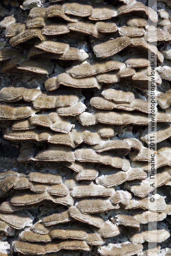 Фотография: грибы-паразиты, растущие на березе Эрмана, или каменной березе. Камчатка, окрестности города Петропавловска-Камчатского