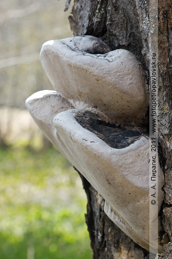 Фотография: на березе Эрмана, или каменной березе, растут грибы-паразиты. Полуостров Камчатка, окрестности Петропавловска-Камчатского