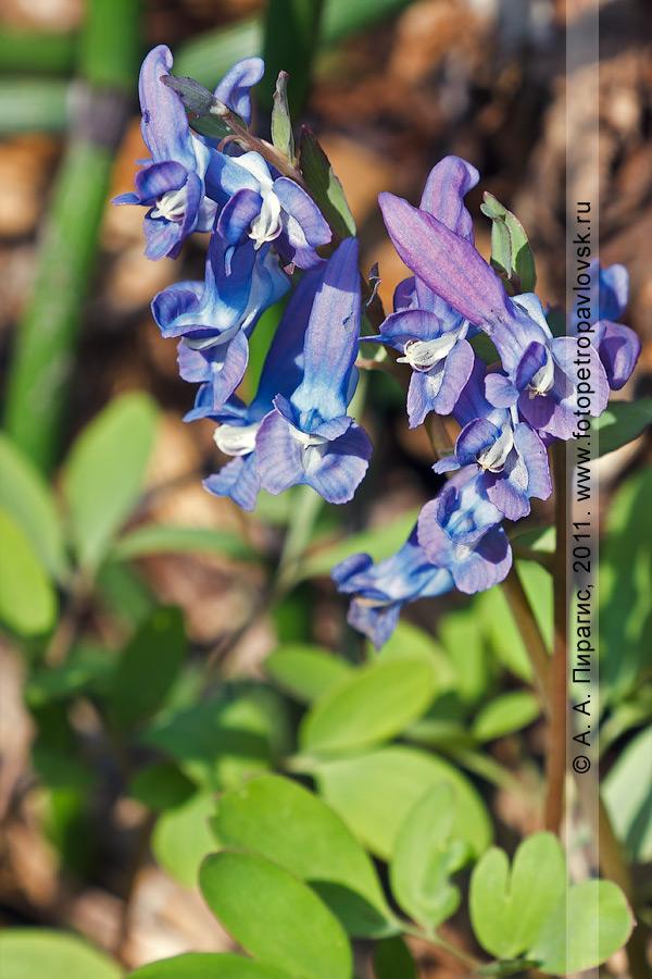 Фотография: хохлатка сомнительная — Corydalis ambigua Cham. et Schlecht. (семейство Маковые — Papaveraceae)