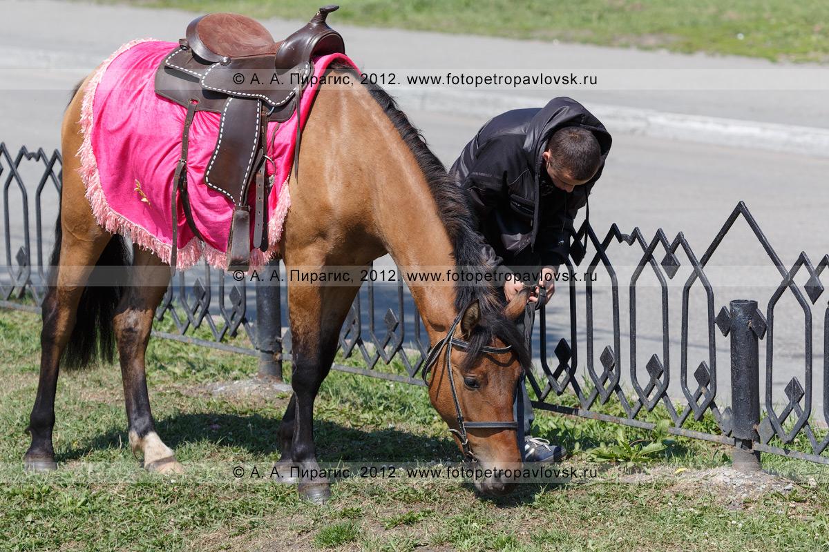 Фотография: статная лошадь пасется на газоне в центре города Петропавловска-Камчатского