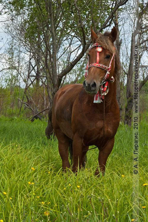 Фотография: конь — победитель скачек во время празднования Сабантуя на Камчатке