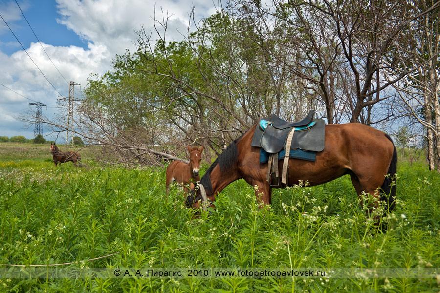 Фотография: камчатские лошади. Фотография сделана перед празднованием Сабантуя в Камчатском крае