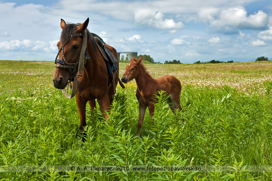 Фотография: камчатские лошади. Снимок сделан перед Сабантуем на Камчатке