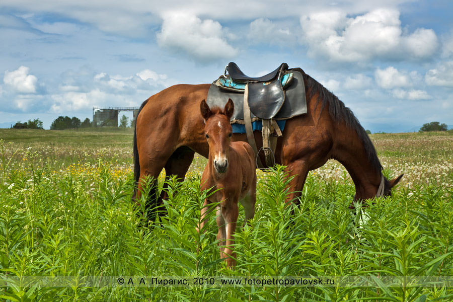 Фотография: камчатские лошади. Фотоснимок сделан перед празднованием Сабантуя