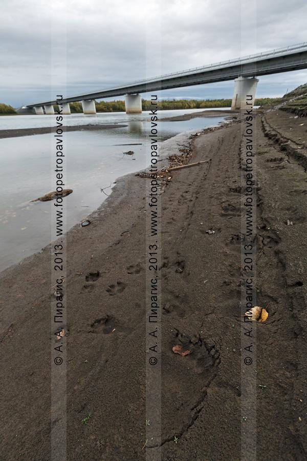 Фотография: следы камчатского бурого медведя на берегу реки Камчатки. На заднем плане: мост через реку Камчатку на 168-м километре автотрассы Мильково — Ключи — Усть-Камчатск. Камчатский край
