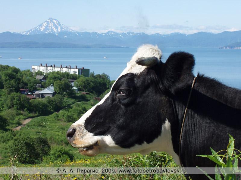 Корова в Петропавловске-Камчатском