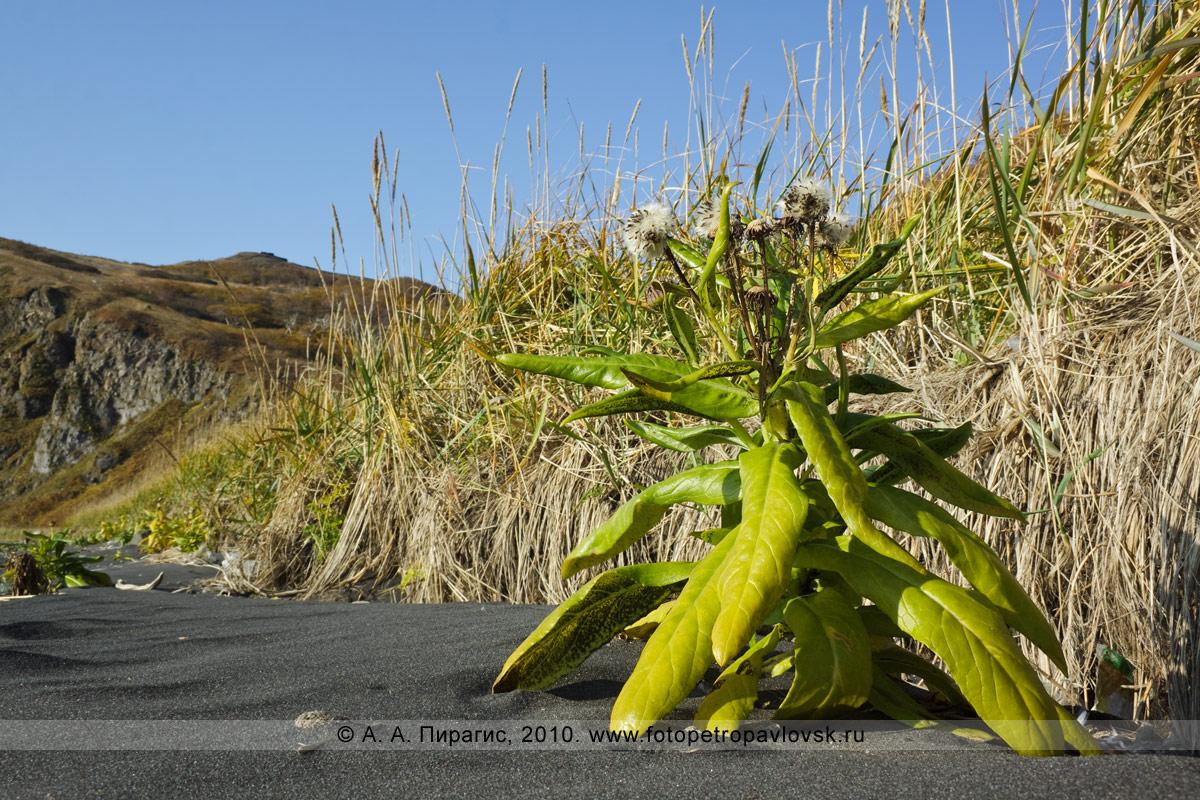 Фотография: крестовник ложноарниковый — Senecio pseudoarnica Less. (семейство Астровые — Asteraceae). Полуостров Камчатка, берег Авачинского залива Тихого океана