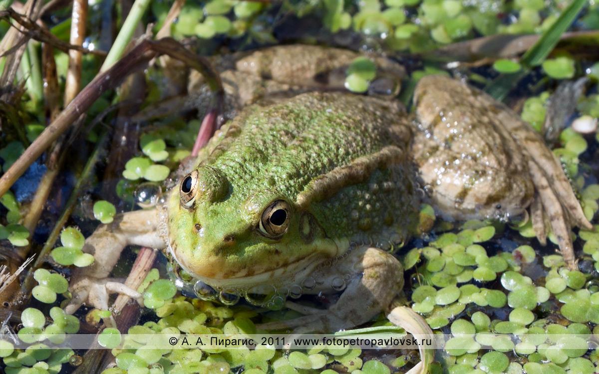 Фотография: лягушка озерная — Rana ridibunda. Озерновская коса, болото возле Култучного озера в городе Петропавловске-Камчатском