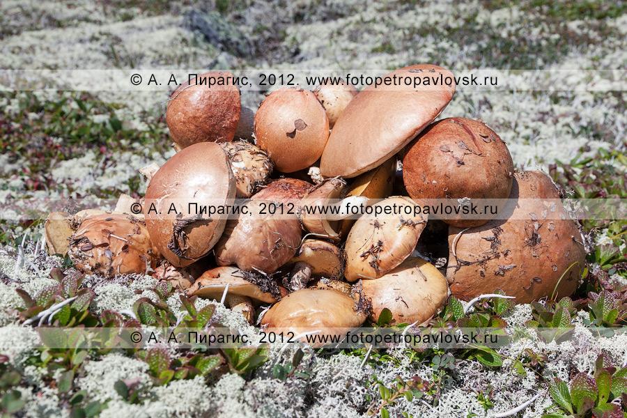 Фотография: кучка аппетитных грибов, собранных в горах