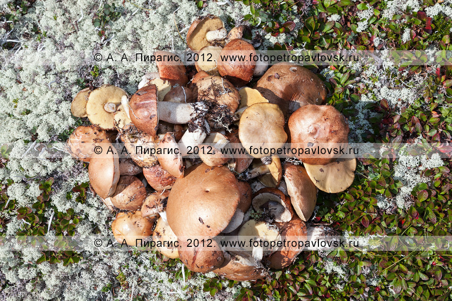 """Фотография: кучка грибов """"на жареху"""", собранных на вулкане"""