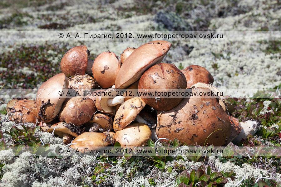 """Фотография: грибы """"на жареху"""", собранные в горах"""
