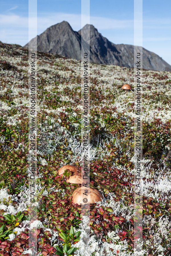 Фотография: грибы на фоне горы Вачкажцы (Вачкажицы)