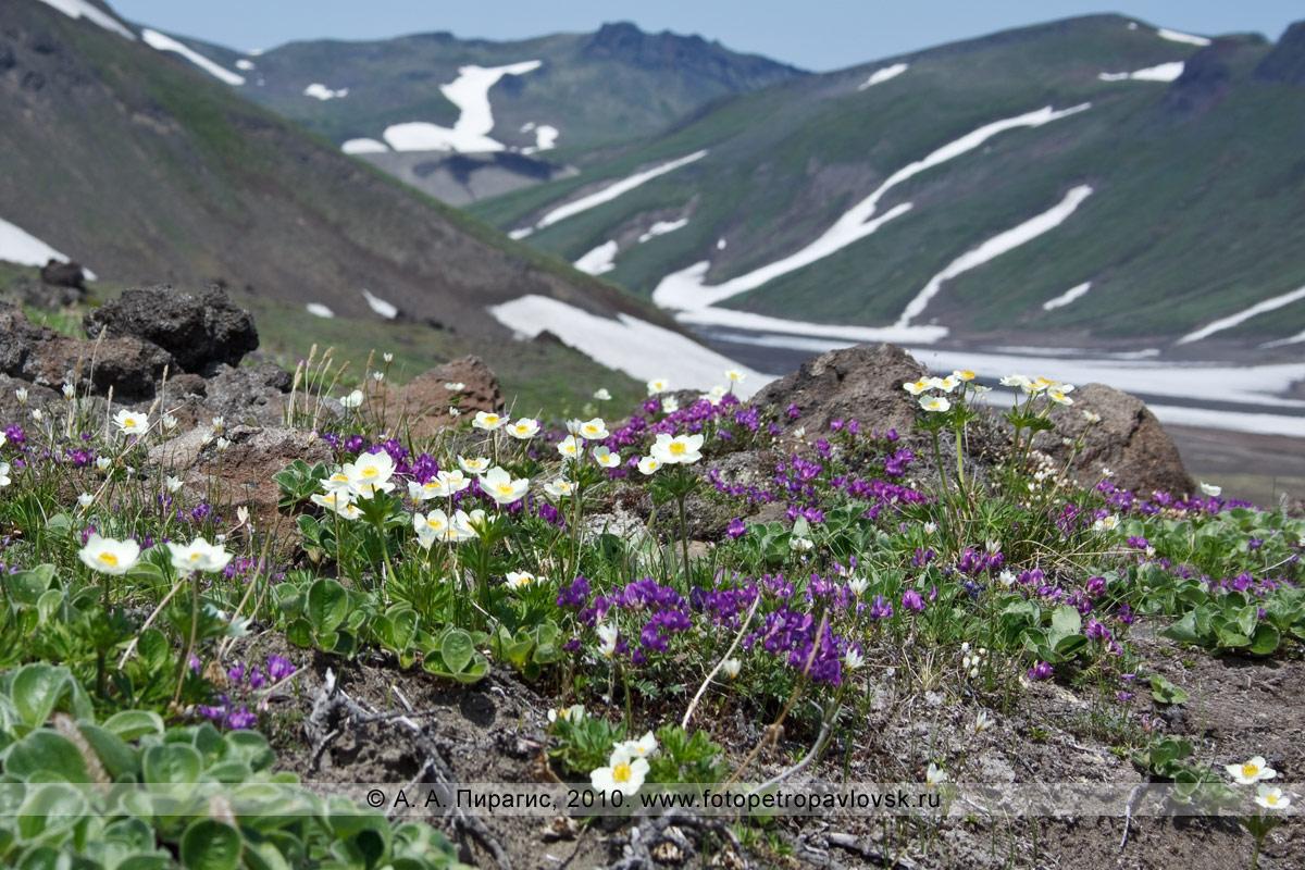 Фотография: остролодочник завернутый и ветреница сибирская. Альпийские луга в районе вулкана Горелого на юге полуострова Камчатка