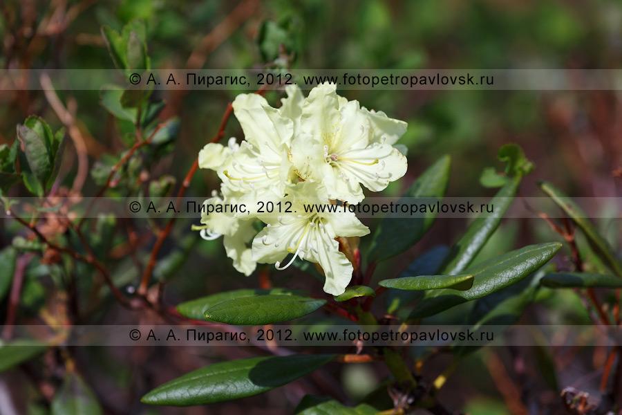Фотография: рододендрон золотистый — Rhododendron aureum Georgi (семейство Вересковые — Ericaceae). Камчатка