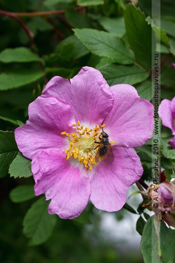 Фотография: шиповник тупоушковый — Rosa amblyotis C. A. Mey. (семейство Розоцветные — Rosaceae). Петропавловск-Камчатский