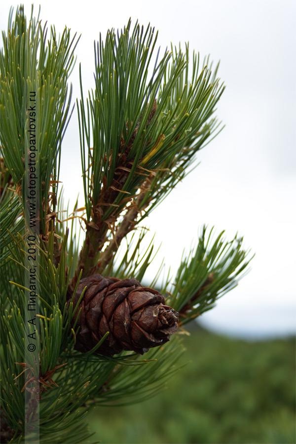 Фотография: кедровый стланик — Pinus pumila (Pall.) Regel (семейство Сосновые — Pinaceae)
