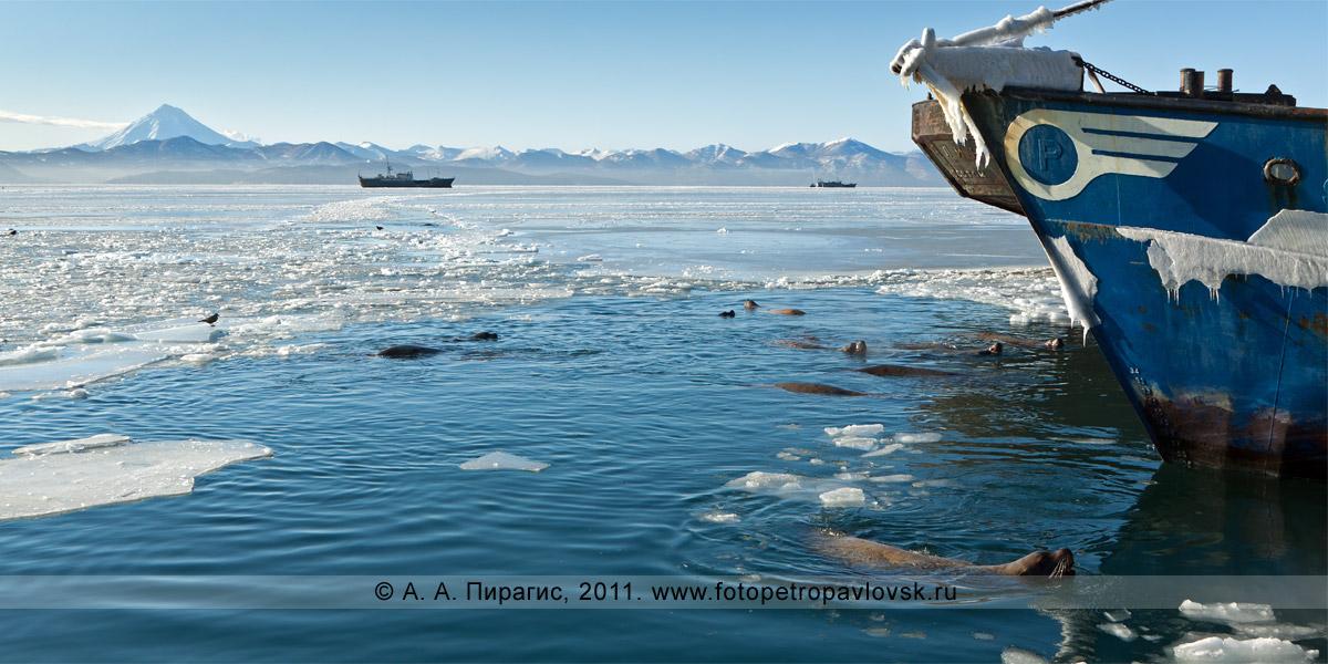 Фотография: сивучи, или морские львы Стеллера, в Авачинской губе (бухте). Мыс Сигнальный, город Петропавловск-Камчатский