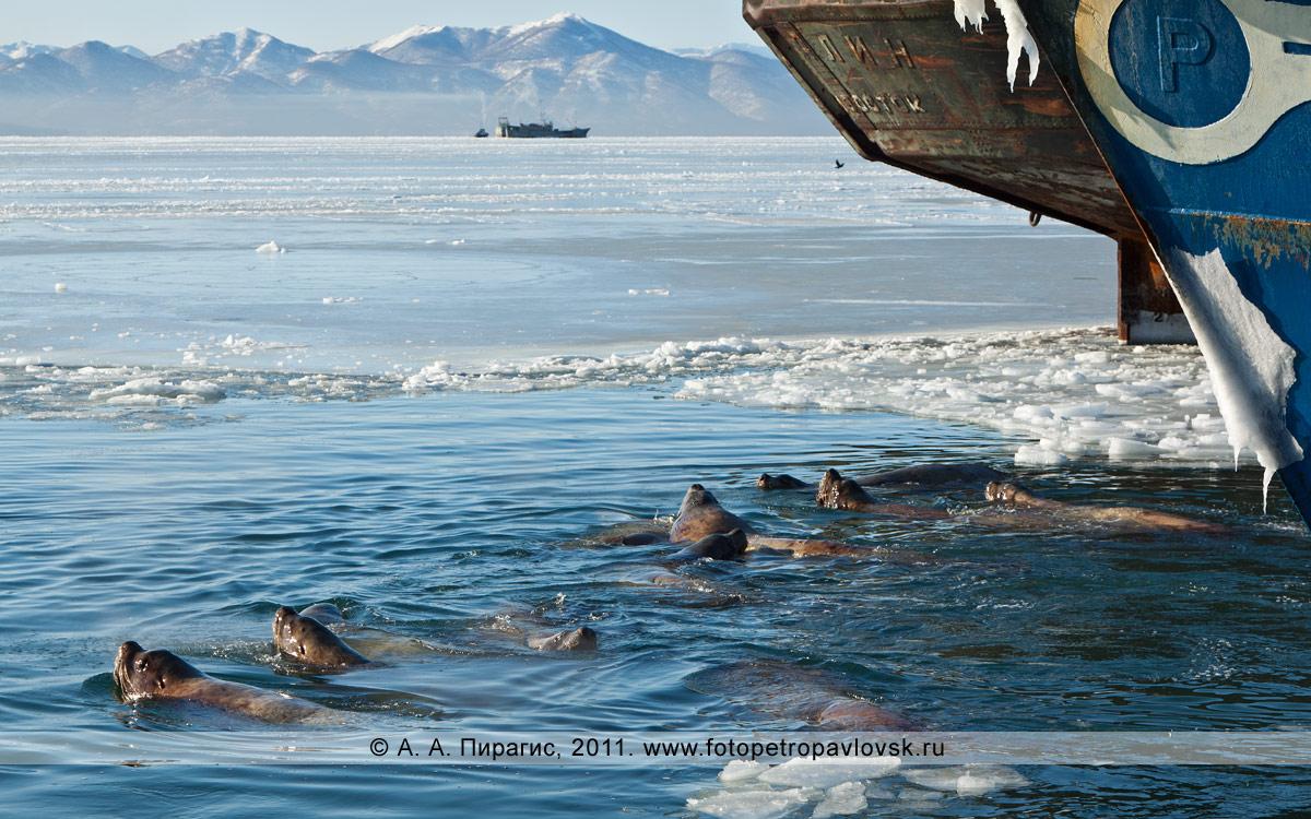 Фотография: группа сивучей в Авачинской губе (бухте). Мыс Сигнальный, город Петропавловск-Камчатский